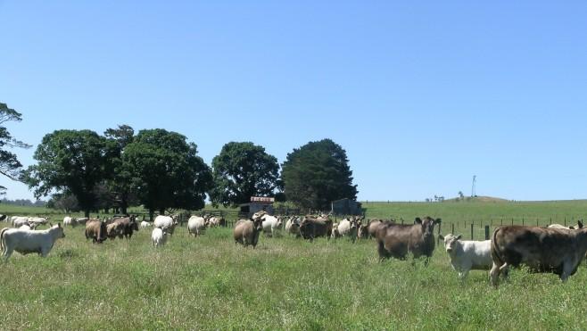 Murray_Grey_cows_and_calves