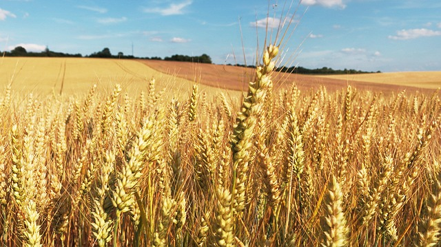 cornfield-373284_640