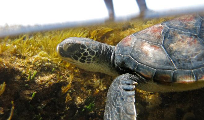 green-turtle-release_sodwana_credit-luke-metelerkamp_281116