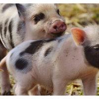 organic pigs2